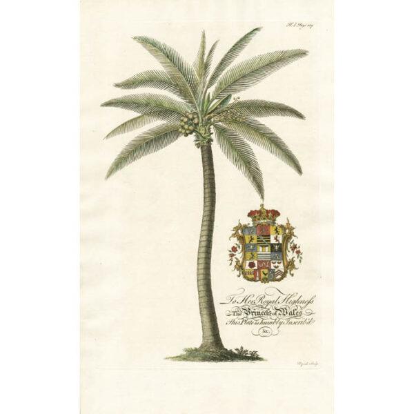 The Coco Nut-tree; Lat. Palma Nucifera. Plate 3d.