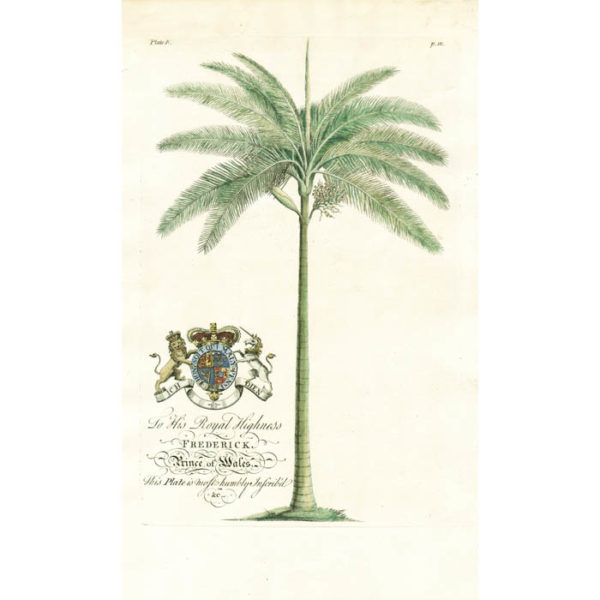 The Cabbage-tree; Lat. Palma Maxima. Plate 4.