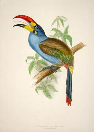 Pteroglossus Hypoglaucus, Grey-breasted Araçari