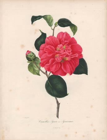 Camellia Ignea ou Ignivoma