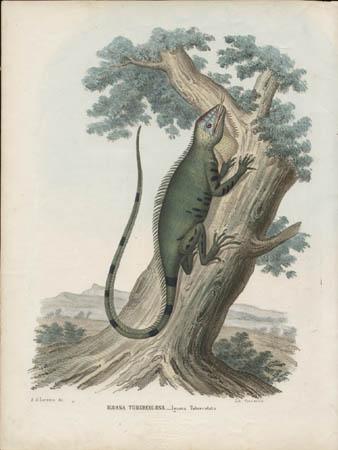 Iguana Tubercolosa -- Iguana Tubercolata
