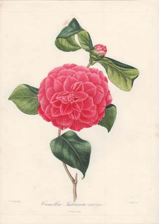 Camellia Imbricata Rubra