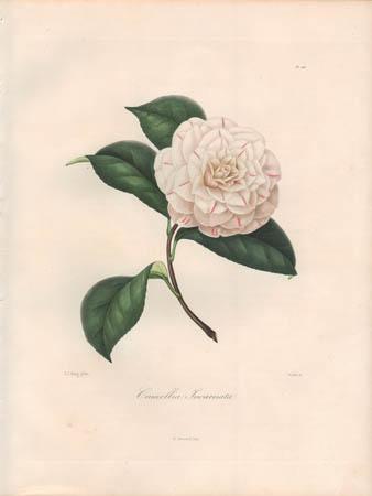 Camellia Incarnata