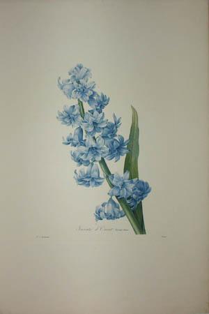 Jacinte d'Orient Variété bleue