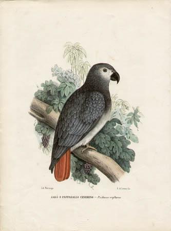 Jakò o Pappagallo Cenerino -- Psittacus erythucus