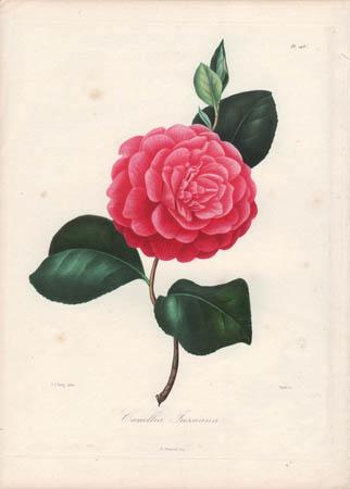 Camellia Jussiana
