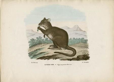 Kanguro Topo -- Hypsiprymnus Murinus
