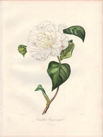 Camellia King's Royal