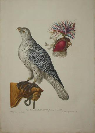 [Falcon]