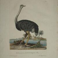 [Ostrich]