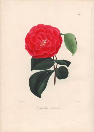 Camellia Leodora