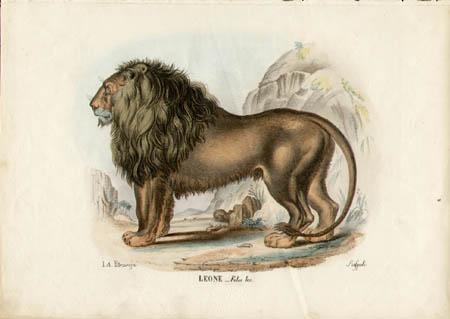 Leone -- Felis leo