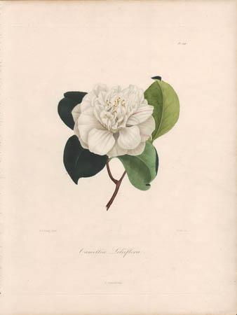 Camellia Liliiflora