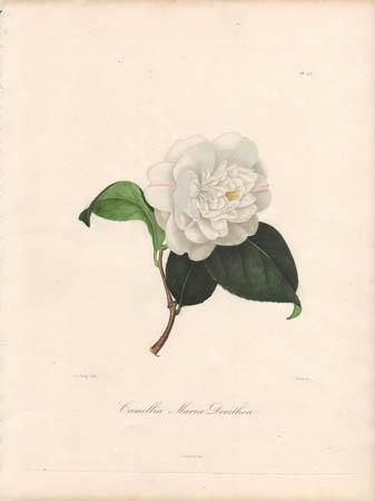 Camellia Maria Dorothea