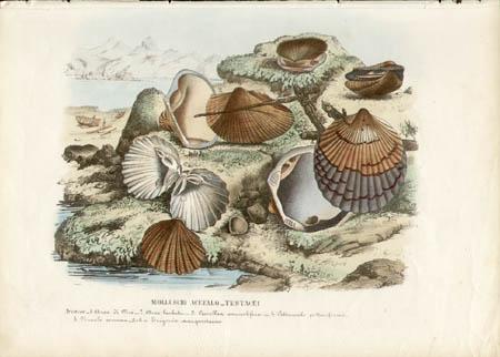 Molluschi Acefalo -- Testacei: Arcacee -- 1. Arca di Noè  2. Arca barbuta  3. Cucullea auriculifera  4. Pettuncolo pettiniforme  5. Nuculo commune -- beba Trigonia margaritacea