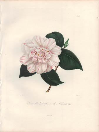 Camellia Duchesse de Nemours (Ber.)