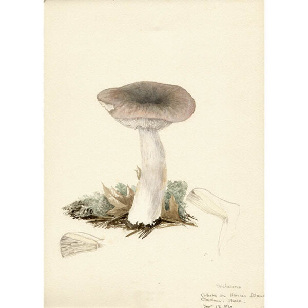 Marcia Gaylord Norman, Tricholoma.