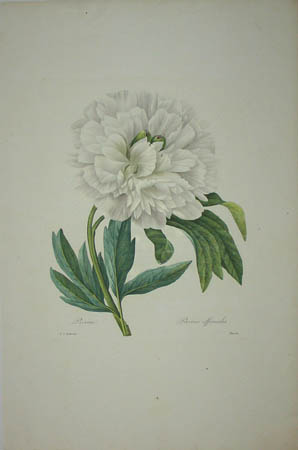 Pivoine, Paeonia officinalis