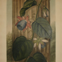 The Winged Passion-Flower