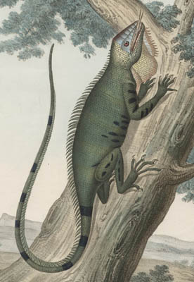 19th C. Italian Natural History Lithographs