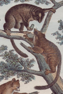 19th C. Italian Natural History Lithographs