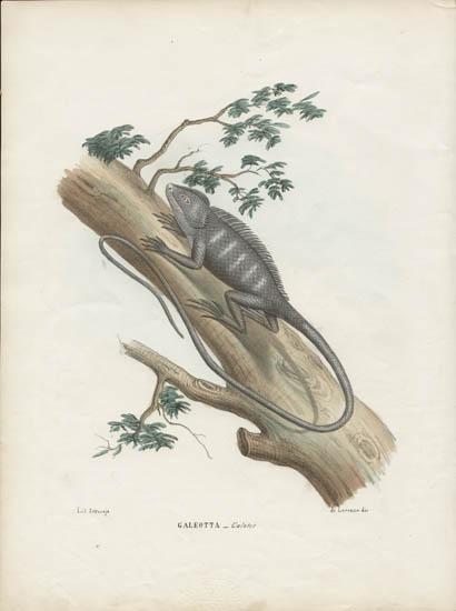 Galeotta -- Calotes [Asian Forest Lizard]