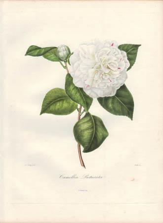Camellia Picturata