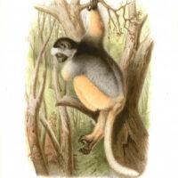 Propithecus Diadema Lemur