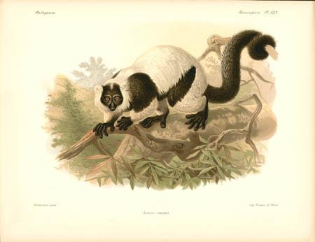 Lemur Varius Lemur