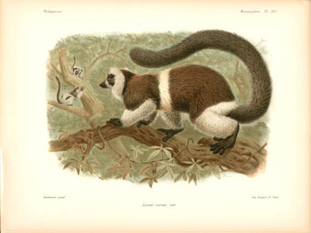 Lemur Varius, var. Lemur
