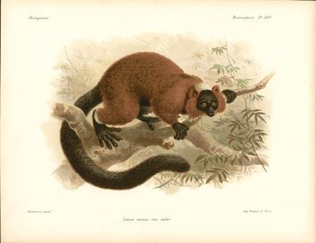 Lemur Varius, var. ruber. Lemur
