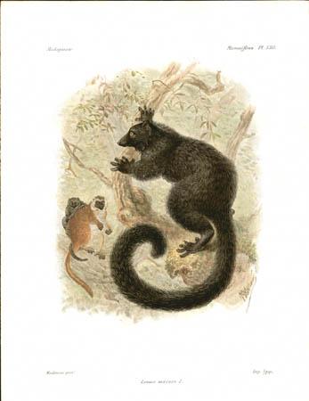 Lemur Macaco, Male Lemur