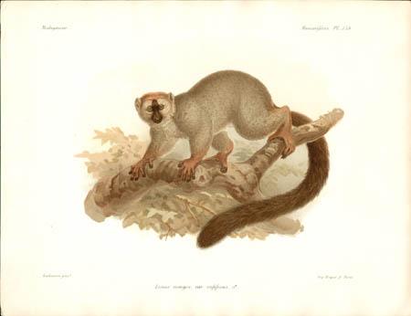 Lemur Mongoz, var. rufifrons, Male Lemur