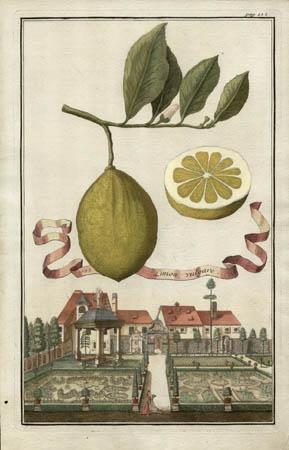 Limon Vulgare, 1702