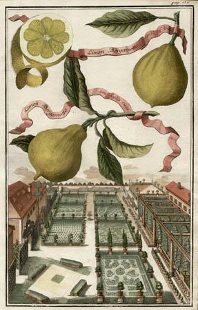 Limon Bergamotto con la fog'a Liscia, Limon Bergamotto con foglia rizza