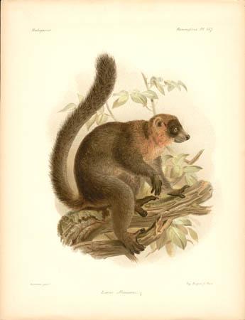 Lemur Albimanus, Female Lemur