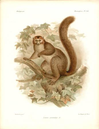 Lemur Coronatus, male Lemur