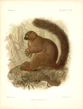 Lemur Rubriventer, Male Lemur