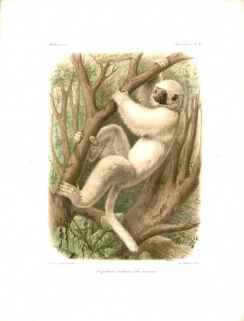 Propithecus Diadema (var. Sericeus) Lemur