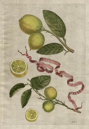 Plate 211, Limon Pusillus Calabriae Duplex