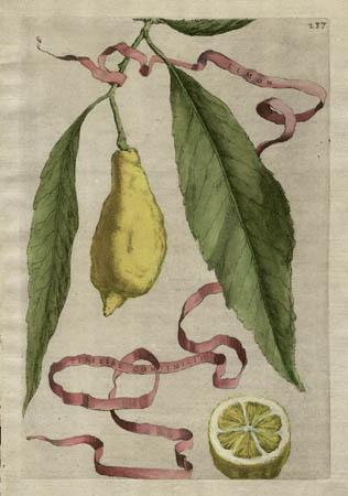 Plate 237, Limon Perettae Consimillis