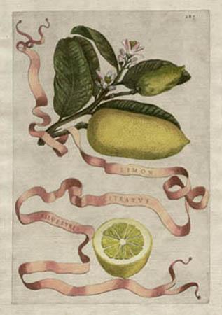 Plate 287, Limon Citratus Silvestris