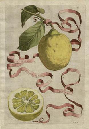 Plate 291, Limon Ponzinus Ligusticus