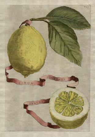 Plate 293, Limon Ponzinus Rubens