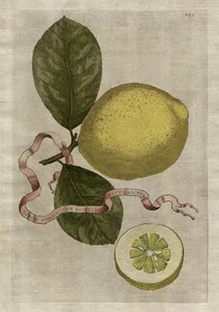 Plate 295, Limon Ponzinus in Hortis Matthaeiorum
