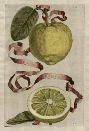 Plate 313, Adami Pomum Commune