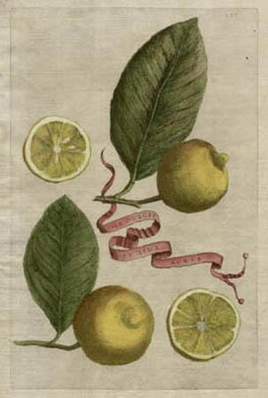 Plate 333, Lima Dulcis et Lima Acris