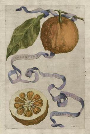 Plate 379, Aurantium Sicciore Medulla Hibernum