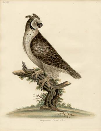 Virginian Eared Owl