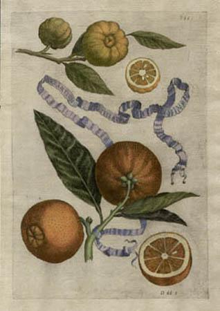 Plate 395, Aurantium Stellatum et Roseum